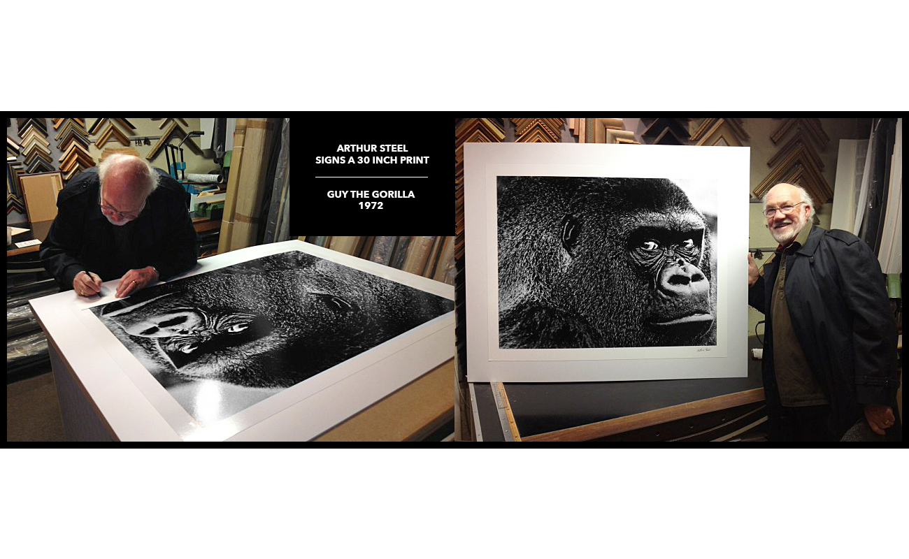 photograph guy the gorilla arthur steel print sales