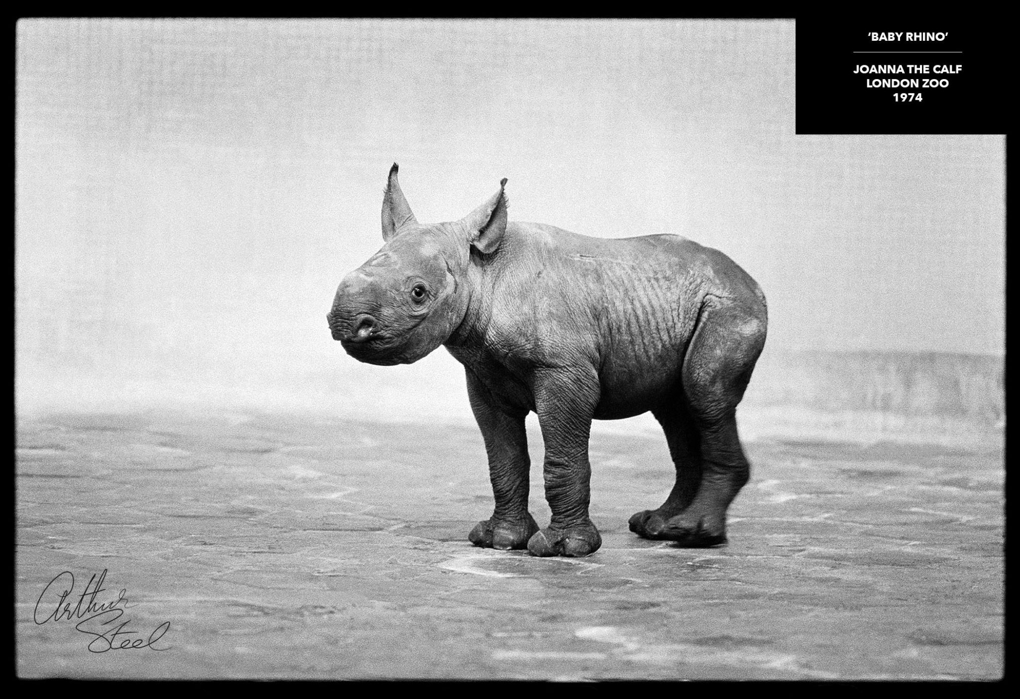 joanna the baby black rhino rare photograph