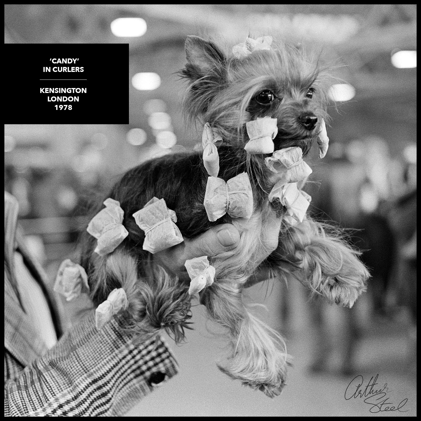 yorkshire_terrier_candy_crufts_dog_show_arthur_steel