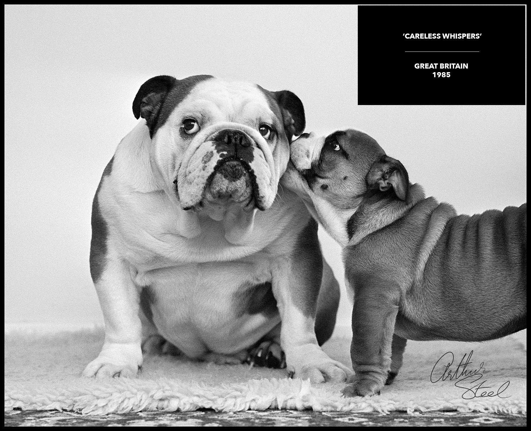 rare black and white photograph bulldogs careless whispers