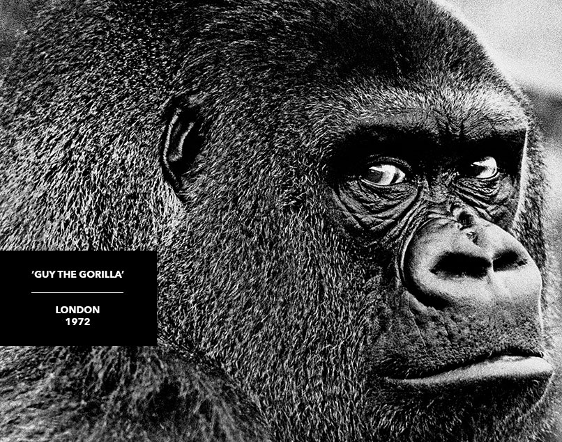 photograph of guy the gorilla artwork black and white prints for sale