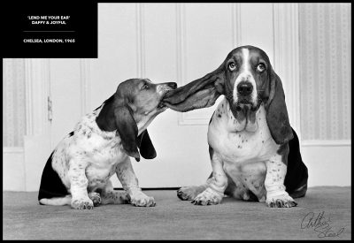 rare photograph playful bassett hounds